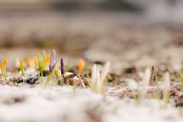 First spring flowers in snow