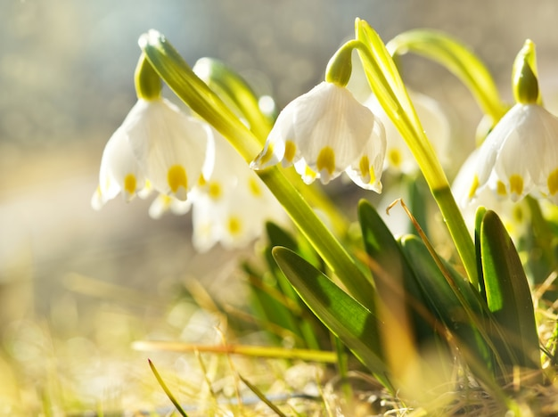 The first spring flowers, snowdrops in meadow, a symbol of nature awakening