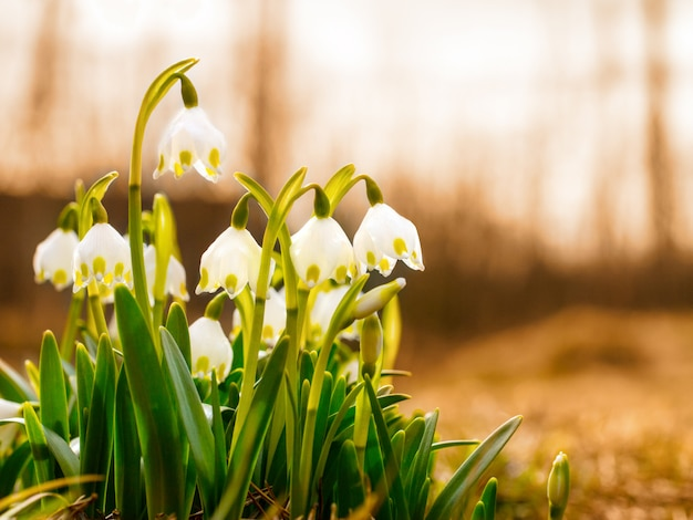 The first spring flowers, snowdrops, a symbol of nature awakening