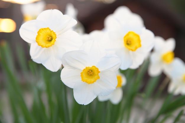 最初の春の花は白い水仙。日没。