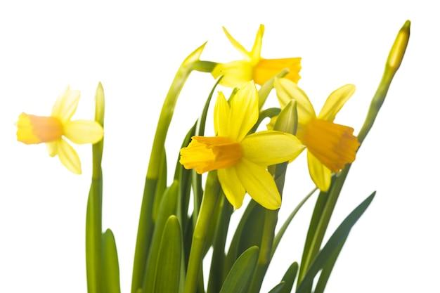 첫 번째 봄 꽃 - 흰색에 고립 된 노란 수선화