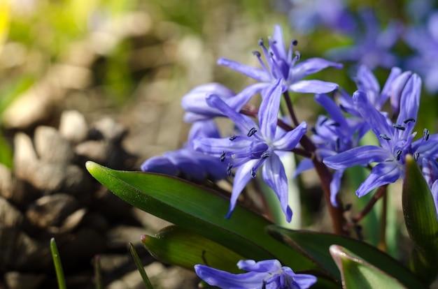 첫 번째 봄 숲 꽃, scilla siberica. 봄 화창한 날에 아름 다운 푸른 꽃입니다.