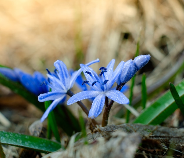 Scilla siberica.magical 봄 계절 배경의 푸른 꽃으로 가득한 숲에서 첫 번째 화창한 날.