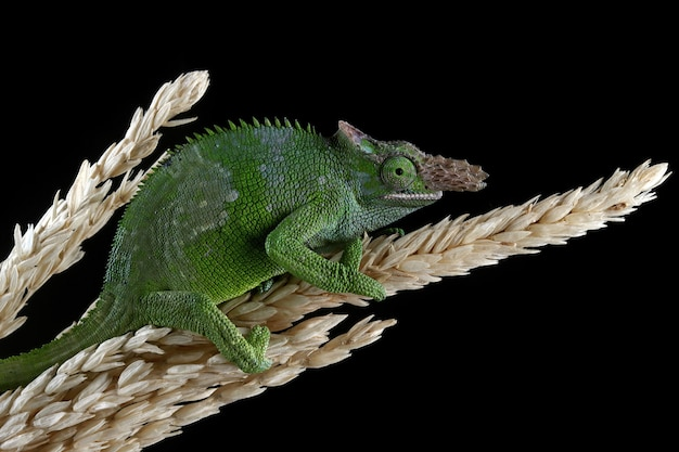 Fischer chameleon on black