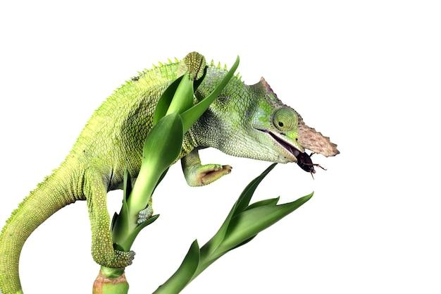 Fischer chameleon closeup with black wall fischer chameleon closeup
