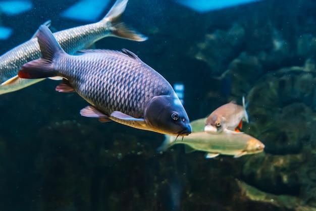 Рыба карп карповый плавает под голубой водой