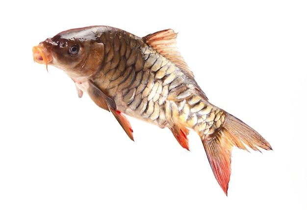 흰색 배경에 물고기 잉어
