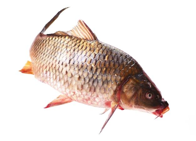 물고기 잉어