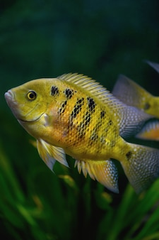 水族館で魚cichlasomabocourti(neetroplus bocourti、herichthys bocourti)。垂直