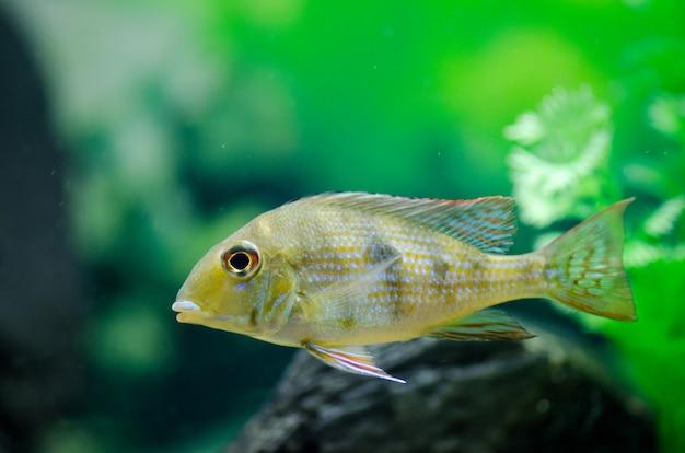 Fish cichlid aquarium with a beautiful design. gorizontak photo