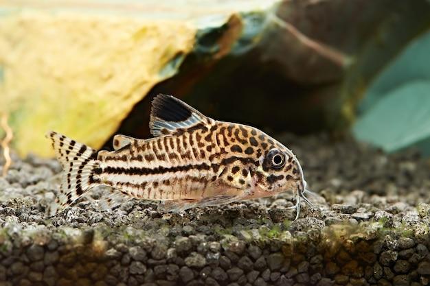 魚。水族館のコリドラスジュリイ