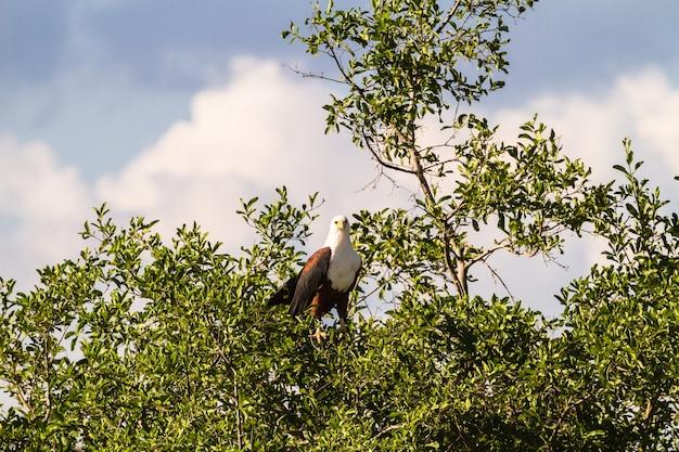 Орел рыбы на дереве. серенгети, берега реки грумети. африка