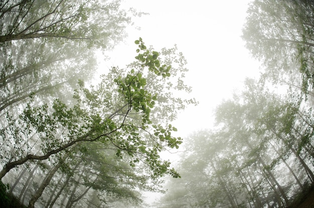 Fish eye shot from below of the green thin tall tree trunks forest covered with a white fog