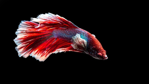 Fish from thailand is colorful on black background