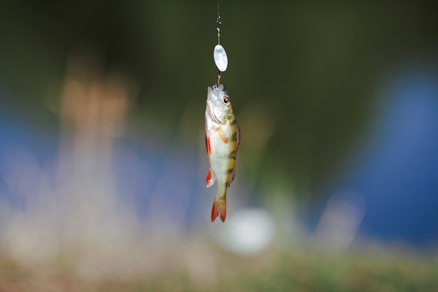 Fish hanging on hook over blur background