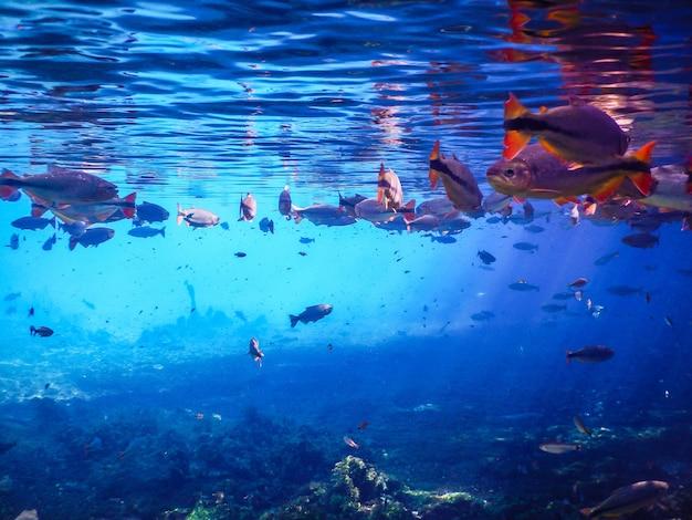 가다랭이시 강에서 물고기