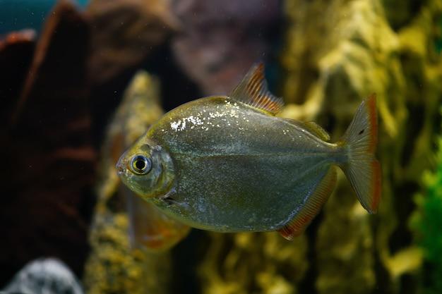魚はシルバーメティニスが水族館で泳ぐ
