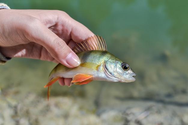 Рыба окунь в руках рыбака