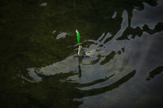 魚は水の表面に引っ張られた