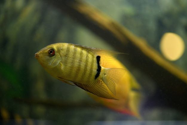 물고기 severum cichlid가 수족관에서 수영합니다.