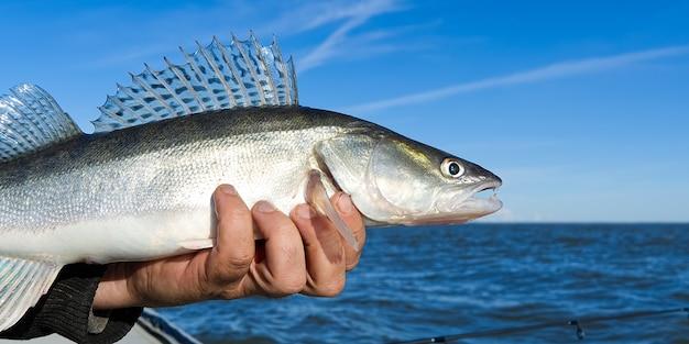 漁師は捕まえたザンダーやパイクパーチを手に持っています。釣りのキャッチとリリースの概念。