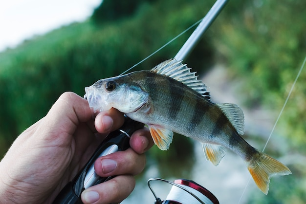 Fisherman's hand with fishing rod holding fish