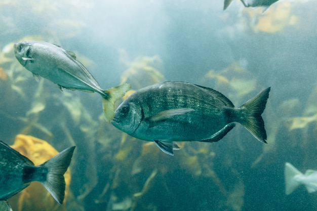 Fishes in aquarium or reservoir ubder water on fish farm