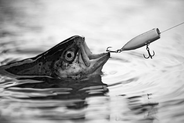 フックを捕まえる魚。漁師とマス。バス釣りのスプラッシュ。釣りで大きな魚を捕まえる
