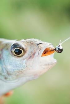 배경 흐리게 물고기 입 안에 낚시 미끼