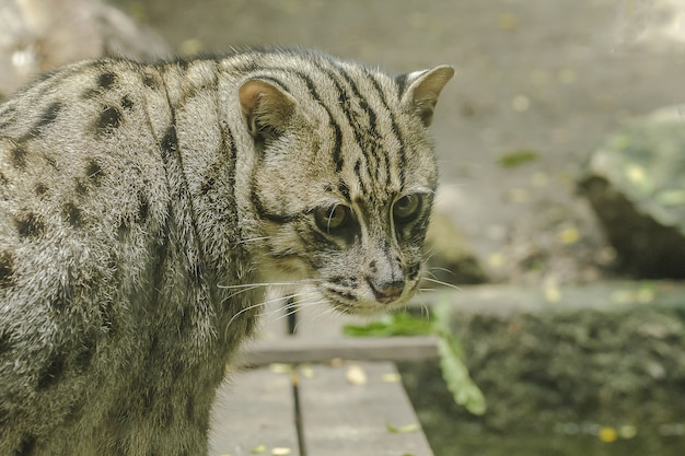 Fishing cat is looking at something that is interesting.