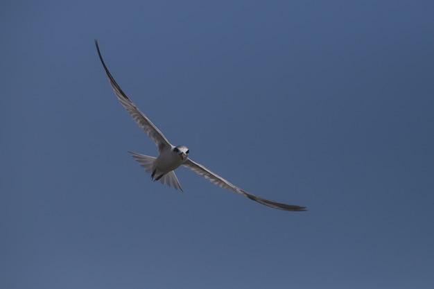 Fishing least tern, sternula antillarum