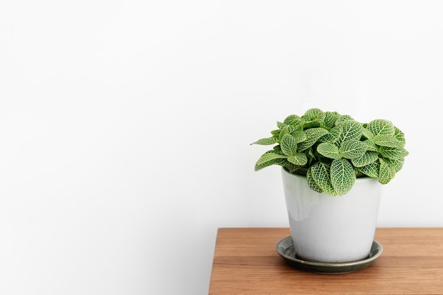 Fittonia plant in a white pot on a wooden cabinet