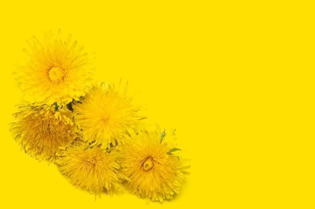 Пять цветущих желтых одуванчиков на желтом фоне, крупным планом, копией пространства, минимализм. может использоваться как элемент дизайна, обложка, открытка.