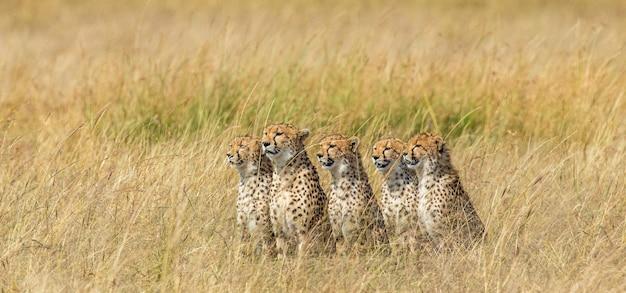 Пять гепардов в саванне.