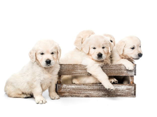 Five funny golden retriever puppies in wooden box basket together isolated on white