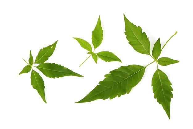 Пятилистное целомудренное дерево или зеленый лист ветви vitex negundo, изолированные на белом фоне. вид сверху, плоская планировка.