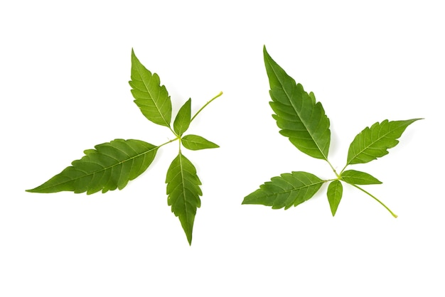 Five leaved chaste tree or vitex negundo branch green leaf isolated on white background.top view,flat lay.