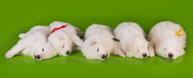 緑の背景に5つの小さな生後1ヶ月のかわいい白いサモエド子犬犬