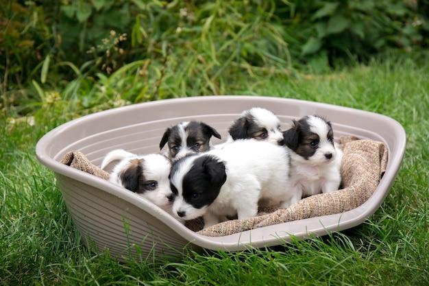 Пять маленьких щенков породы папийон в корзине в саду