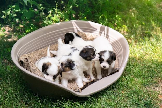 정원에 있는 바구니에 빠삐용의 작은 강아지 5마리