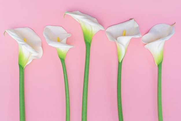 Five white calla lilly flowers on pink wall.
