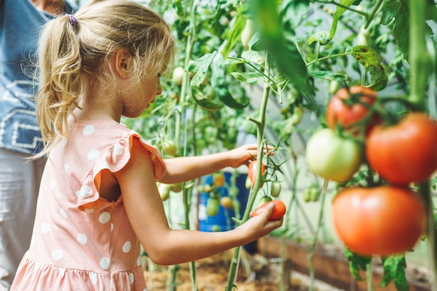 Five year old girl picking ripe red organic tomatoes in greenhouse with her unrecognizable grandmother on background