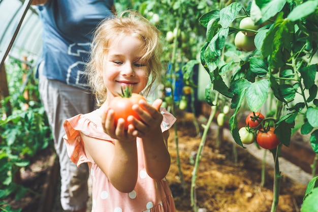 Five year old girl picking ripe red organic tomatoes in greenhouse with her unrecognizable grandmother on background.