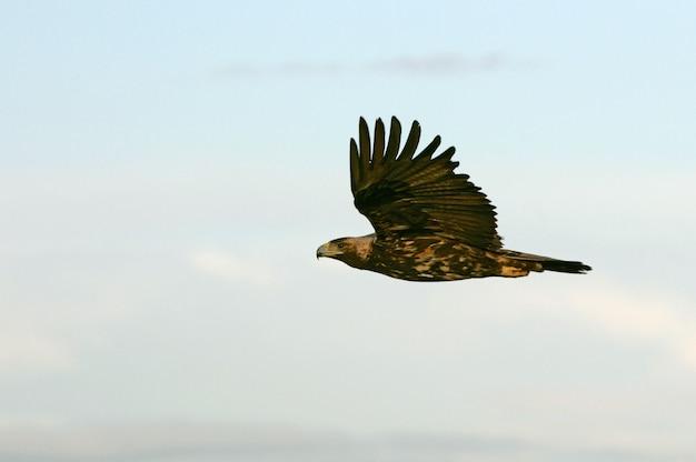 Пятилетняя самка испанского имперского орла, аквила адальберти