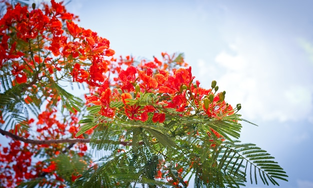 Flam-boyant, the flame tree, royal poinciana