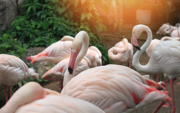 Flamboyance of greater flamingos wading in the zoo.