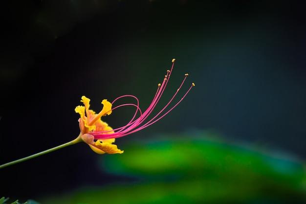 華やかで炎の木のホウオウボクと明るいオレンジ色の花