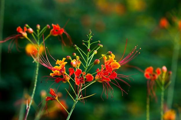 インドの公園で鮮やかなオレンジ色の花と華やかで炎の木のホウオウボク