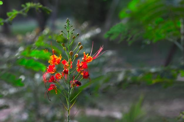 公園に鮮やかなオレンジ色の花が咲く華やかで炎の木のホウオウボク