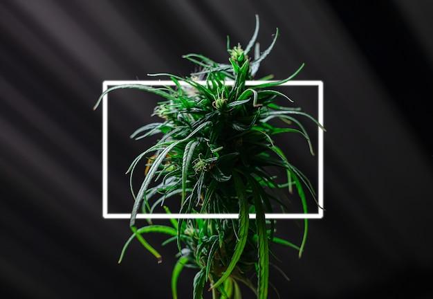 검은 배경에 피는 불꽃 신선한 녹색 약용 식물 대마초